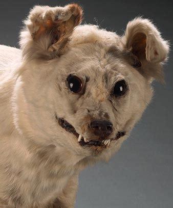 extinct dogs extinct breed kuri
