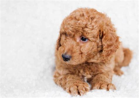 mini goldendoodles maine goldendoodle puppies goldendoodle mini