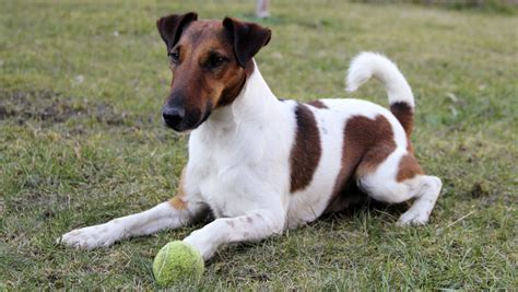 smooth fox terrier puppies smooth fox terrier breeders within the united states available puppies siggy s paradise