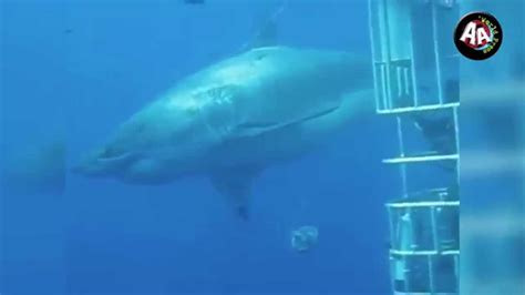 ataque de tiburon submarino en sudafrica ataque de tiburon submarino en sudafrica tibur 243 n blanco