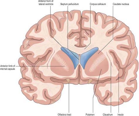 anterior section basal ganglia basicmedical key