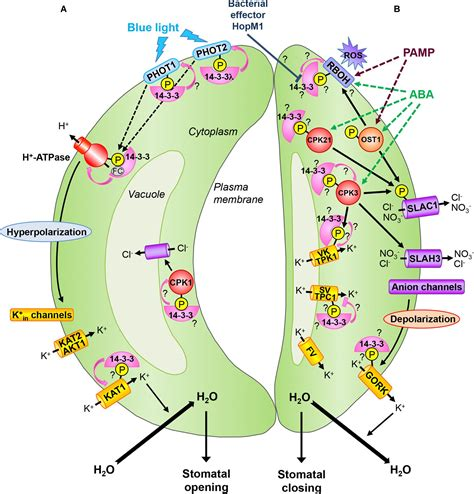 3 proteins in the the roles of 14 3 3 proteins in stomata plant stomata