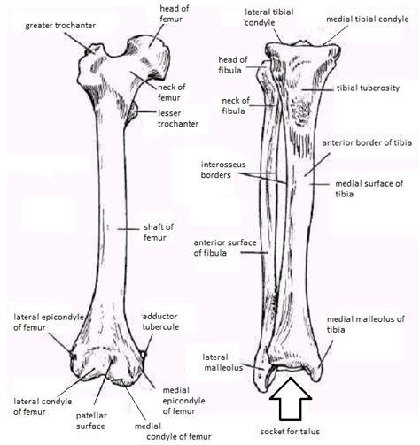 lower extremity diagram skeletal system diagrams