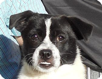 border collie pug louise adopted 120050 oakley ca pug border collie mix