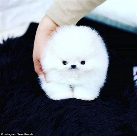 cotton puppy is this the cutest social media goes a tiny fluffy teacup puppy