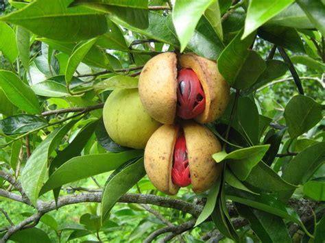 Bibit Pohon Pala Biji Bundar agropreneurship khasiat alami buah pala untuk kesehatan