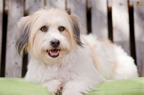 the dogs the differences between the maltese and the coton de tulear pets4homes