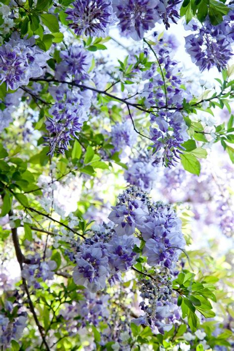 wisteria blooming envy pinterest