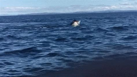 three orcas chase fishing boat at sea 12 year old films pod of killer whales attacking a dolphin