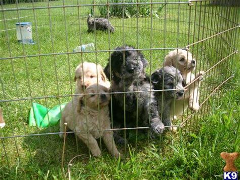 mini goldendoodles for sale in michigan dioberpietraw goldendoodle puppies for sale in michigan