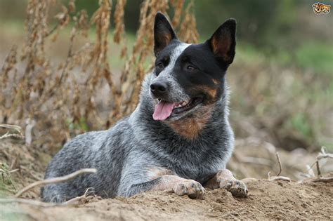 cattle puppy temperament personality and behaviour of the australian cattle pets4homes