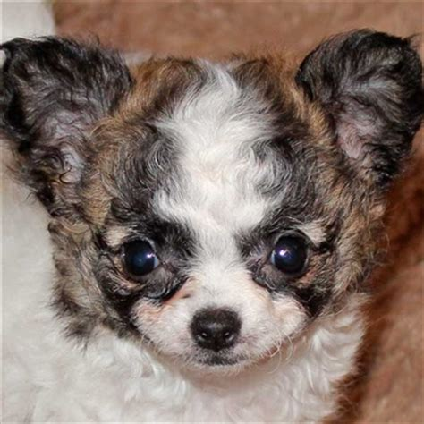 puppies for sale boca raton puppy for sale alternative views breed chihuahua date of birth breeds picture