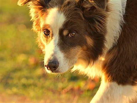 my puppy has diarrhea but is acting the australian shepherd site