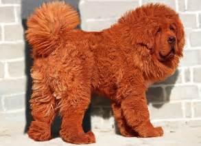 Red tibetan mastiff quot red tibetan mastiff quot quot most expensive dog quot
