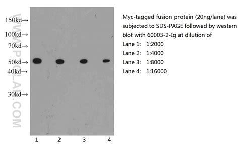anti myc ptglab myc tag antibody 60003 2 ig