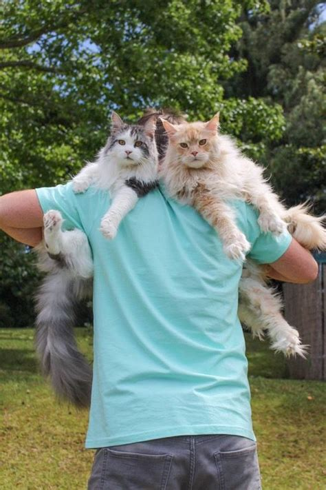 cats   sit  shoulders mnn mother