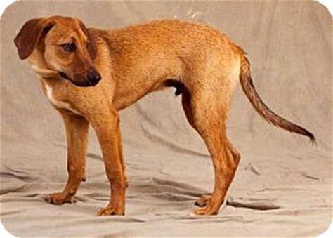 golden retriever puppies wny donald adopted puppy buffalo ny golden retriever foxhound mix