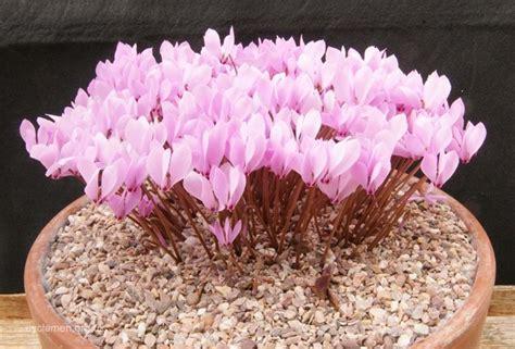 fiore ciclamino ciclamino piante da appartamento fiori appartamento