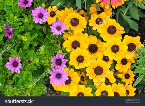 Bright Garden Flowers Beautiful Background Of Bright Garden Flowers Stock Photo 387650506