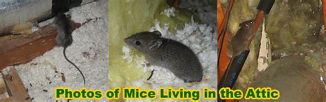 mouse removal and of mice