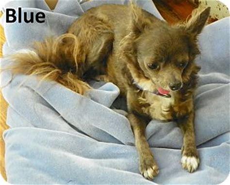 morgantown wv chihuahua meet blue a dog for adoption
