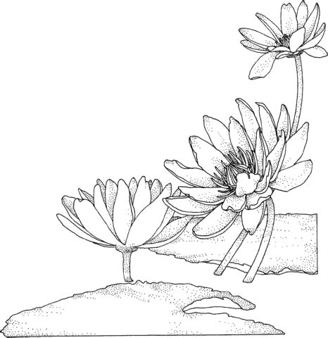 nymphaea or water lily coloring page supercoloring com