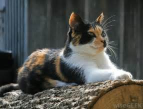 what are calico cats with pictures