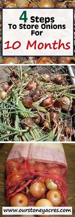 How To Store Onions From The Garden by Curing And Storing Onions For 10 Months Or More Stoney