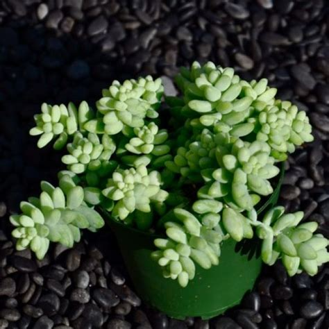 17 best images about succulent varieties on pinterest sun cactus and new growth