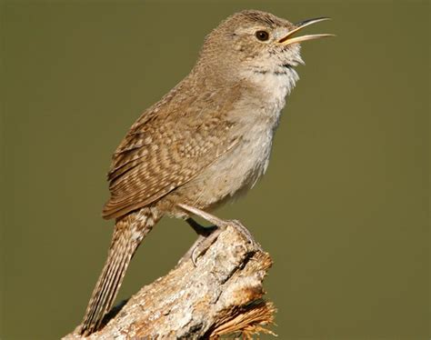 house wren songs and calls larkwire