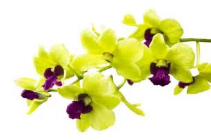orchid color meaning image gallery orchid flowers