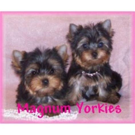 yorkies for sale missouri yorkies for sale in missouri hd 1080p 4k foto