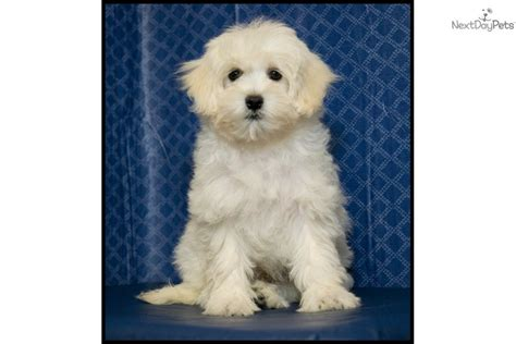 golden retriever bichon frise mix bichon frise mixed breed images frompo 1