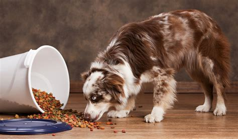 best food for dogs best food for australian shepherds 7 vet recommended brands