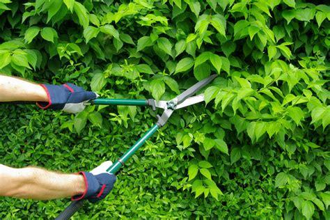 hortensie schneiden wann hortensie quot limelight quot 187 wann sollten sie sie schneiden