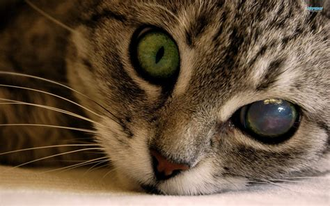 Cat Eye eye and respiratory problems in your cat