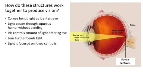how does light pass through the eye chapter 19 special senses vision ppt video online download