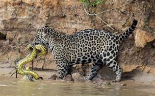 Jaguar And Anaconda Ferocious Battle Between Jaguar And Yellow Anaconda