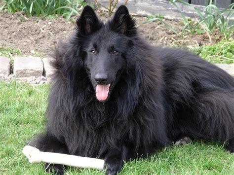 belgian shepherd groenendael groenendael black belgian shepherd belgian shepards