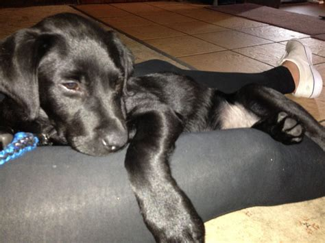 16 week puppy 16 weeks black lab puppy for sale wimborne dorset pets4homes
