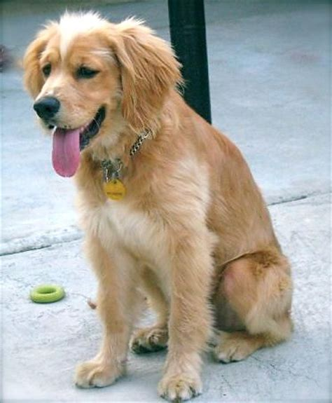 golden retriever spaniel mix puppies golden retriever spaniel mix pets
