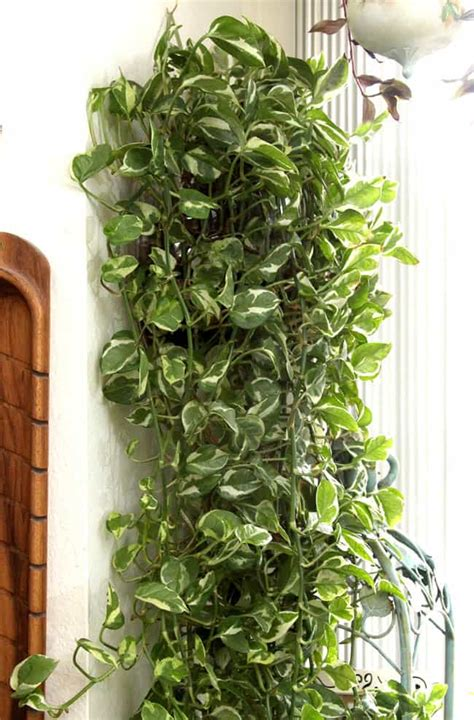 indoor vine plants vining house plant that is trained to cover the ceiling