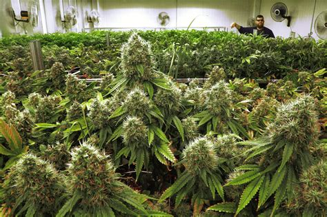 illinois growers  green light  ship marijuana  stores chicago tribune