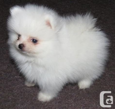 White Pomeranian Puppies For Rehoming For Sale In Brockville Ontario Classifieds