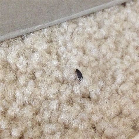 bug na rug bug id needed a carpet beetle 171 got bed bugs bedbugger forums