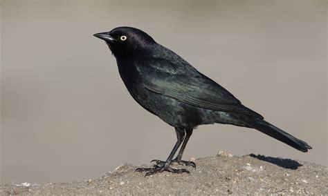 Brewer S Blackbird Introduction Birds Of North America Black Bird