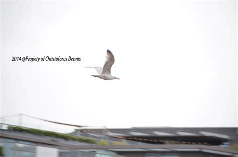 Kinoysan Ketika Merpati Terbang Rendah bidikan amatir burung burung di amsterdam itu terbang