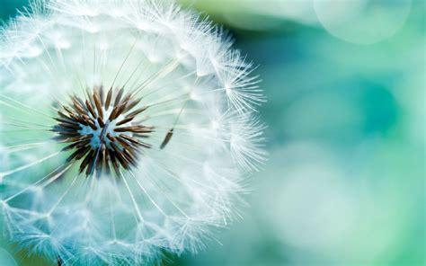 wallpaper bunga dandelion dandelion full hd background picture image