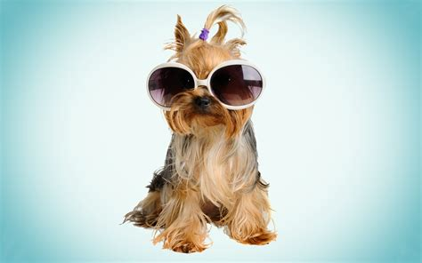 puppy with glasses beaver york with glasses wallpapers and images wallpapers pictures photos