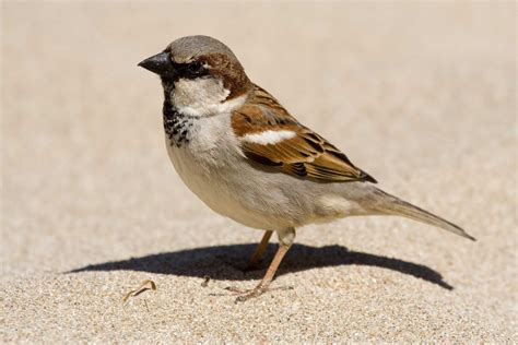 ken s photo blog house sparrow